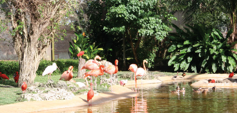 Flamingos at the Graeme Hall Nature Sanctuary, Christ Church, Barbados Pocket Guide