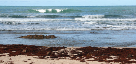An Abundance of Sargassum Seaweed Washed Ashore on the East Coast, Barbados Pocket Guide