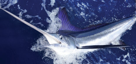 A Blue Marlin Being Hooked by Crew Members While out Deep Sea Fishing, Barbados Pocket Guide