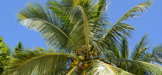 A coconut tree at Sugar Cane Club Hotel & Spa, Barbados