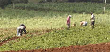Workers Reaping Produce in a Field, Barbados Pocket Guide