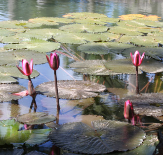 Pond with Lillies at Codrington College