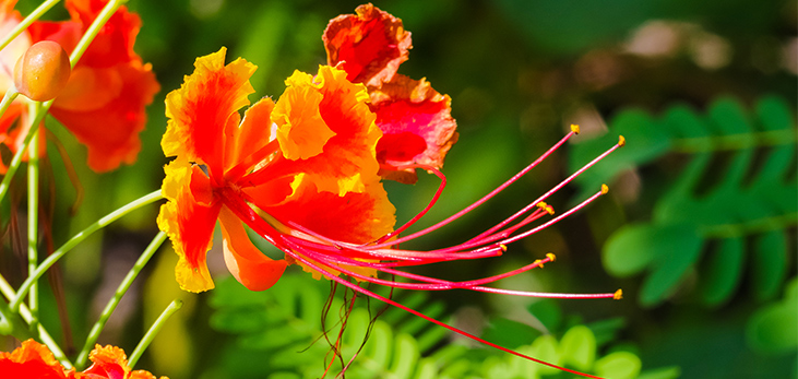Bougainvillea Plant, Barbados Pocket Guide