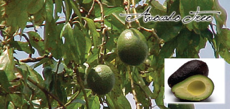 avocado-tree_1