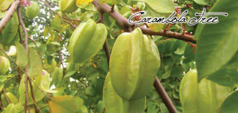 Carambola Tree, Barbados Pocket Guide