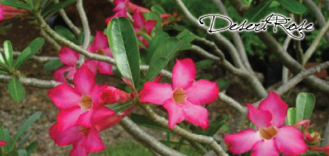 Beautiful Desert Rose Plant, Barbados Pocket Guide