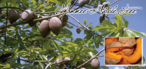 Mammee Apple Tree, Barbados Pocket Guide