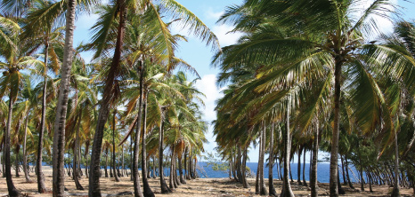 Rows of Coconut Trees on a Beach, Barbados Pocket Guide