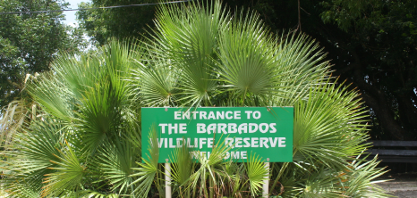 In Car Driving Lessons >> Barbados Wildlife Reserve - Barbados Pocket Guide