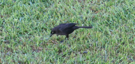 Blackbird in Search of Food, Barbados Pocket Guide