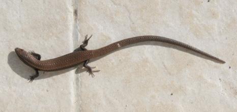 Lizards - Barbados Pocket Guide Houses For Rent