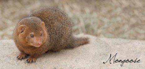 Mongoose Barbados Pocket Guide