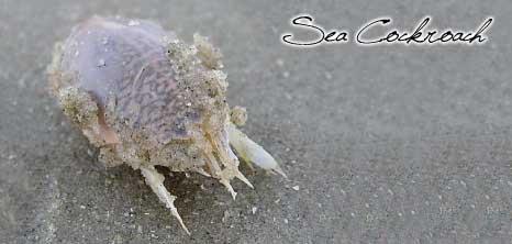 Sea Cockroaches Barbados Pocket Guide