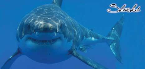 Sharks Barbados Pocket Guide
