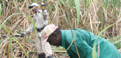 Workers in the Field Cutting Sugarcane, Barbados Pocket Guide