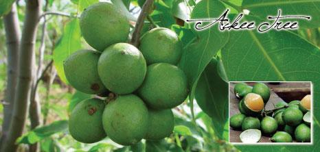 Ackee Tree Barbados Pocket Guide