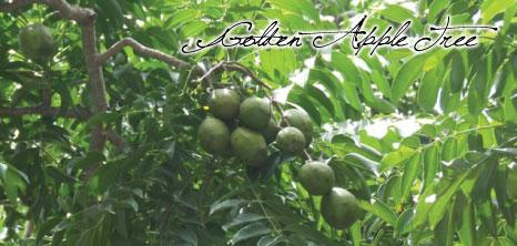 Golden Apple Tree Barbados Pocket Guide