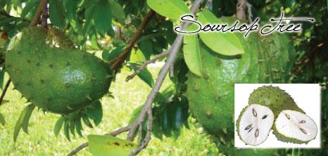 Soursop Tree Barbados Pocket Guide